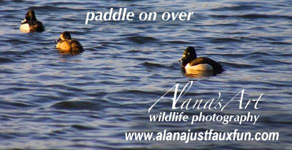 wildlifephotographyducksAd
